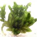 Oxygenating Hornwort (Ceratophyllum demersum) - 6 Plants