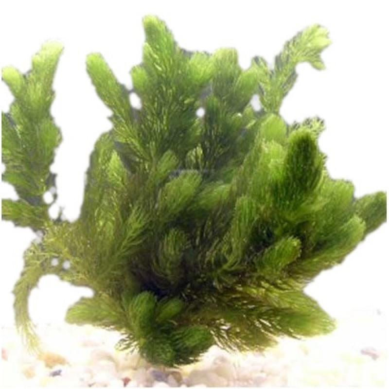 Oxygenating hornwort ceratophyllum demersum 6 plants for Oxygenating pond plants for small ponds