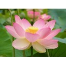 Seeds and Things Pink Sacred Water Lily 5 Seeds - Nelumbo Nucifera-